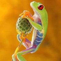 Frog by Artur