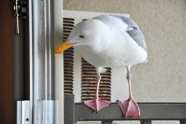 Seagull at the Door